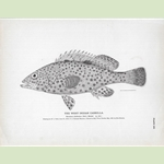 """The West Indian Cabrilla"" Fish Lithograph"